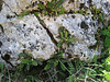 Ceterach officinarum (habitat)