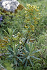 Euphorbia characias (El Torcal)