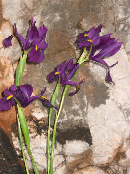 Iris filifolia (El Torcal)