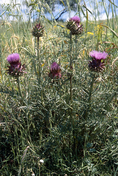 Cynara scolymus (without spines)