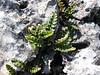 Ceterach officinarum