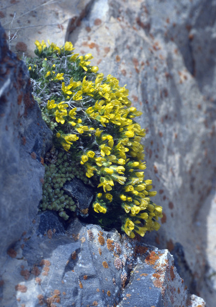 Draba hispanica (Sierra Nevada)