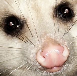 opossom 0756 crop