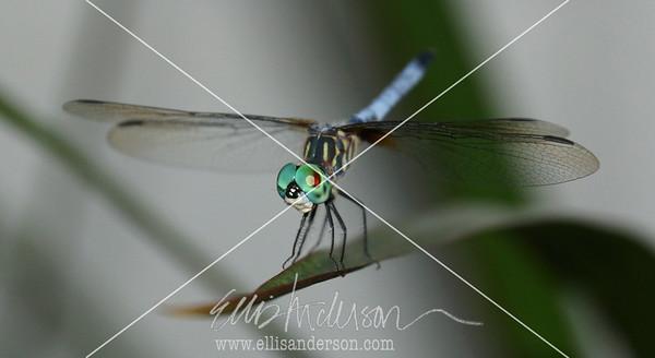 dragonfly 1508