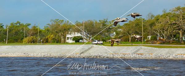 seawall pelicans 6815