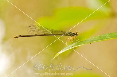 Dragon fly 4701