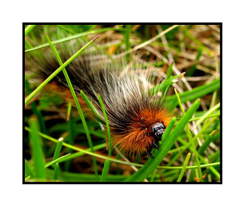 "31st May 2008. Apparently, this is a ""woolly bear"" caterpillar which grows into a tiger moth. There were lots of them on Holy Island just as we parked up near the causeway."