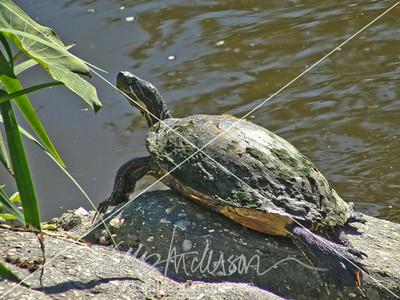 turtle 4609