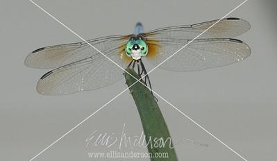 dragonfly 1523