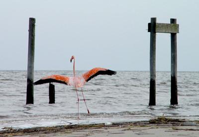 flying flamingo mailer