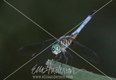 dragonfly 1518
