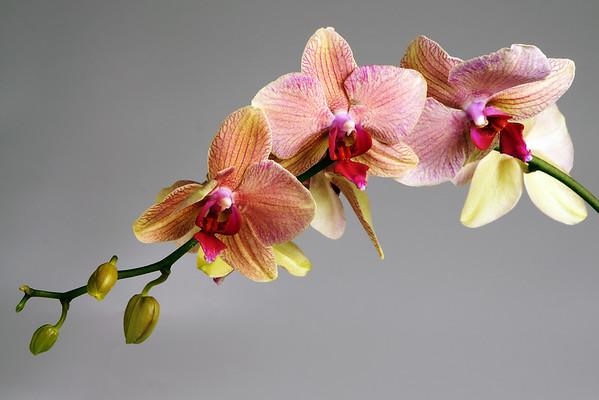 Phalaenopsis - Orchid