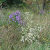 White Bushy Aster and New England Aster