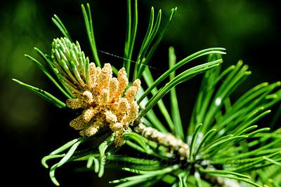 Pine - Spring Cones