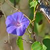 Ocean-blue Morning Glory