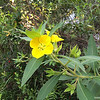 Common Primrose Willow
