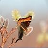 Tortoise Shell Butterfly (Milbert's)