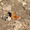 Polygonia (Common) Butterfly