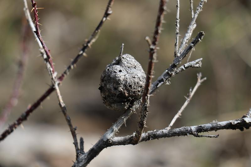 Cynipid  Gall Wasp