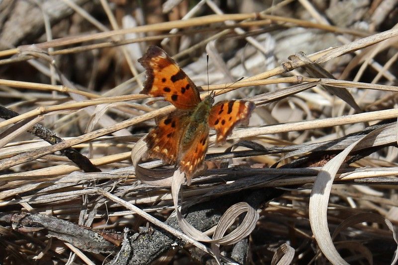 Butterfly (species ?)