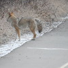 Coyote (defensive)