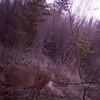 Cougar deep in the Weaselhead