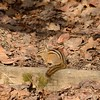 Chipmunk (Least Chipmunk)