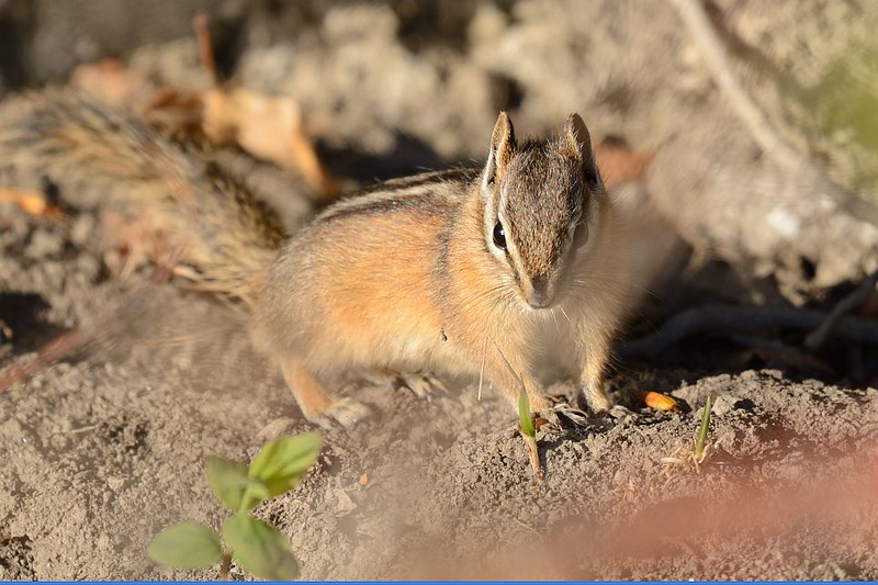 Chipmunk (Least)