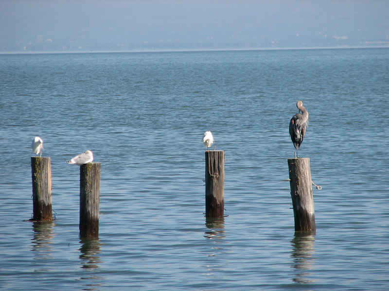 Great blue heron perching with sea gulls