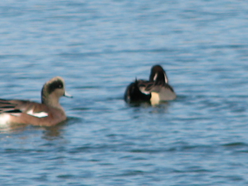 American Wigeon and Pintail duck