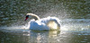 The Redwood Shores Swan, having a little bath