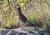 Roadrunner at Lady Bird Johnson Wildflower Center in Austin