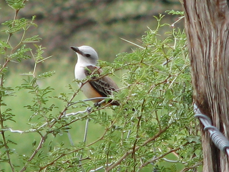 Scissor Tail Flycatcher at the King Ranch outside of Kingsville, TX
