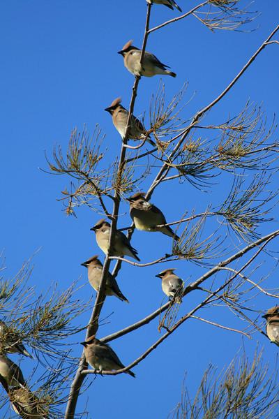 Cedar Waxwings<br /> In a pine tree along the hike n bike path in RWS.