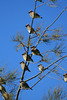Cedar Waxwings<br /> In a pine tree along the hike n bike path in RWS.