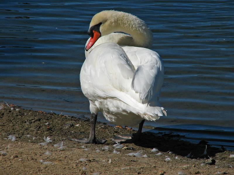 RWS Mute Swan