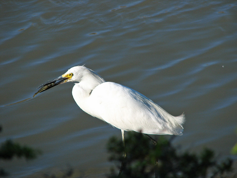 Snowy Egret with snack
