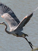 Great Blue Heron<br /> I love this picture even though his beak got cut off.