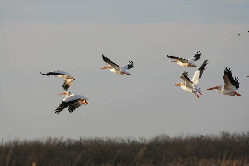 White Pelicans taken at Kirby Lake in Abilene, Tx.