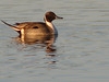 Pin Tail Duck