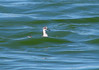 Red-necked Phalarope and the big wave