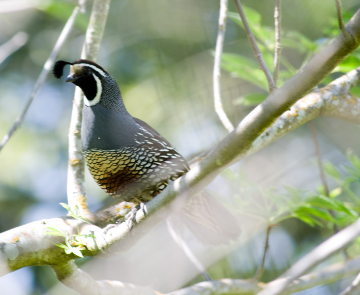 California Quail<br /> Taken in Arastradero Preserve, 12-Apr-2008.