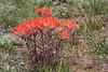 Castilleja angustifolia