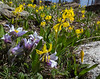 Pulsatilla patens and Erithronium grandiflorum