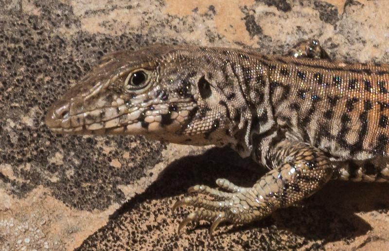 Cnemidophorus tigris