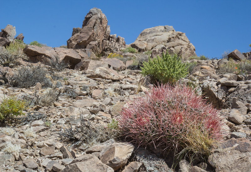 Ferocactus cylindraceus ?
