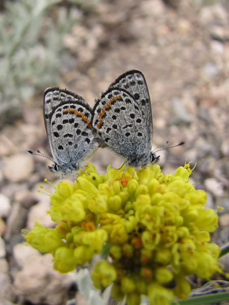 Euphilotes battoides, Square-spotted Blue on Eriogonum ovalifolium? (Cloudcap 2427m, Crater Lake National Park, Oregon)