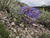 Penstemon speciosus? (Cloudcap 2427m, Crater Lake National Park, Oregon)