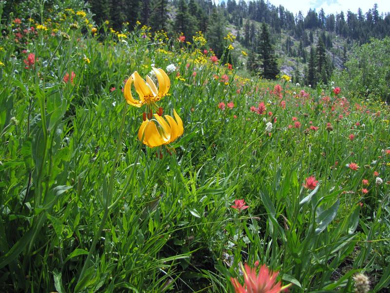 meadow with Lilium columbianum and Castilleja miniata? (Bigelow Lakes Trail, Oregon Caves National Monument)