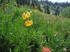 meadow with Lilium columbianum and Castilleja miniata? (Bigelow Lakes Trail, Oregon Caves National Monument)